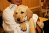 The ultimate auction item: an 8 week old yellow lab