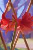 1543 Watercolor Amaryllis