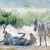 Plains zebras (Grant's subspecies)