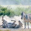 Plains zebras (Grant's subspecies)