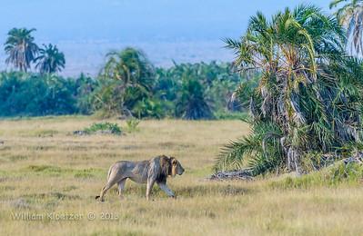 Lion (east African subspecies)