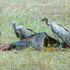 Ruppell's Griffon vultures