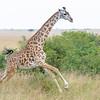 Giraffe (Masai subspecies)