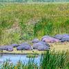 Hippopotamus pod