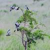 Lesser Grey Shrikes