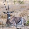Gemsbok (oryx gazelle)