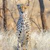 Cheetah (eastern Africa subspecies)