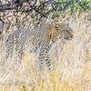 Leopard (African subspecies)