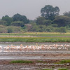 A flock of Great White Pelicans, Lake Manyara National Park, Tanzania