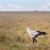 A Secretary bird, Serengeti National Park, Tanzania
