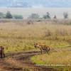 Spotted hyena, Serengeti National Park, Tanzania