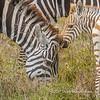 Plains zebra with foal, Serengeti National Park, Tanzania