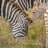 Plains zebra with foal, Serengeti National Park, Tanzania