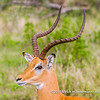 A common impala buck, Serengeti National Park, Tanzania