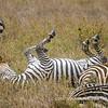 A plains zebra taking a dust bath, Serengeti National Park, Tanzania