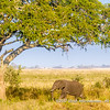A young African elephant under an acacia tree, Serengeti National Park, Tanzania