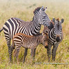 Plains zebra harem with foal, Serengeti National Park, Tanzania