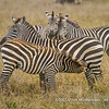 Plains zebra harem with foal, Serengeti National Park, Tanzania