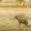 Spotted hyena taking a mud bath, Serengeti National Park, Tanzania