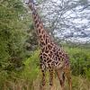 Masai Giraffe, Lake Manyara National Park, Tanzania