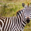 Plains zebra, Serengeti National Park, Tanzania
