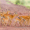 A herd of female common impala crossing the road, Serengeti National Park, Tanzania