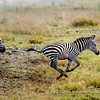 Zebras migrating with blue wildebeests, Serengeti National Park, Tanzania