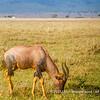 A male topi, Serengeti National Park, Tanzania