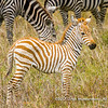 Plains zebra foal, Serengeti National Park, Tanzania