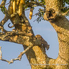 A leopard mother with her two cubs in an acacia tree, Serengeti National Park, Tanzania