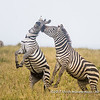Plains zebra mares fighting, Serengeti National Park, Tanzania