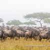 Gnus on their great migration, Serengeti National Park, Tanzania