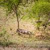 A cheetah chasinging a wildebeest, Serengeti National Park, Tanzania