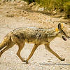 African golden wolf crossing the road, Serengeti National Park, Tanzania