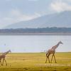 Masai Giraffe on the banks of Lake Manyara, Tanzania