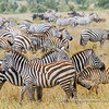 Plains zebras, Serengeti National Park, Tanzania