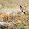 African golden wolf, Serengeti National Park, Tanzania
