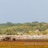 Buffalos in front of large flocks of Great White Pelicans, Lake Manyara National Park, Tanzania