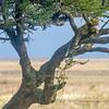 A sleeping leopard in an acacia tree, Serengeti National Park, Tanzania