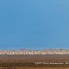 A large flock of Great White Pelicans, Lake Manyara National Park, Tanzania