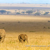 A herd of African bush elephants making their way to the Niaroboro Hills, Serengeti National Park, Tanzania