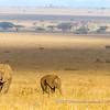 A herd of African bush elephants making their way to the Niaroboro Hills, Serengeti National Park, Tanzania