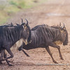 Blue wildebeest crossing a road while migrating, Serengeti National Park, Tanzania