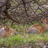 Two dik-diks hiding under a bush, Serengeti National Park, Tanzania