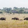 African buffalo crossing the plains of the Serengeti National Park, Tanzania