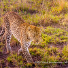 African leopard in the late afternoon sun, Serengeti National Park, Tanzania
