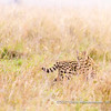 A serval crossing the plains in high grass, Serengeti National Park, Tanzania