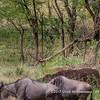 Cheetahs watching the wildebeest migration, Serengeti National Park, Tanzania