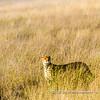 A cheetah walking through the high grass of the Serengeti Plains