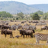 Time to rest during the great migration, Serengeti National Park, Tanzania